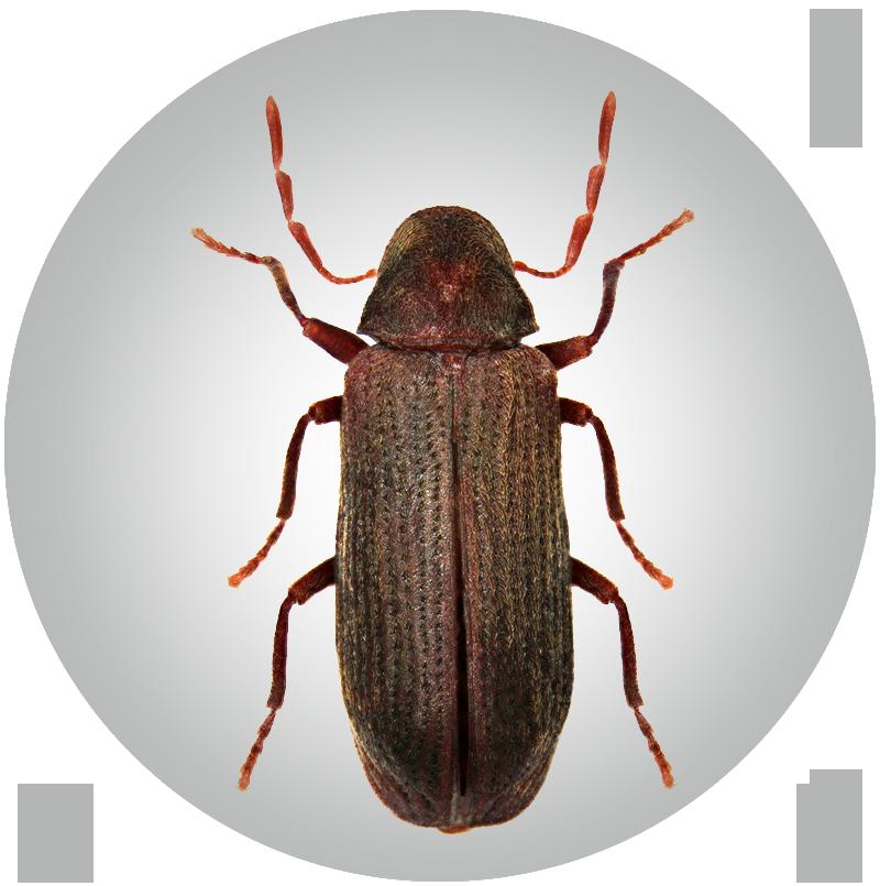 Nagekäfer